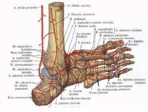 Строение стопы фото рисунок схема кости